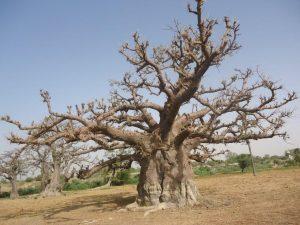 Un baobab, l'arbre sacré